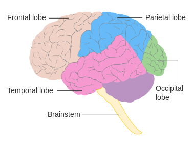 Diagram of the brain and its lobes. Image courtesy of Cancer Research UK.
