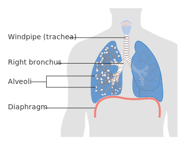 Diagram of the lungs. Image courtesy of Cancer Research UK.